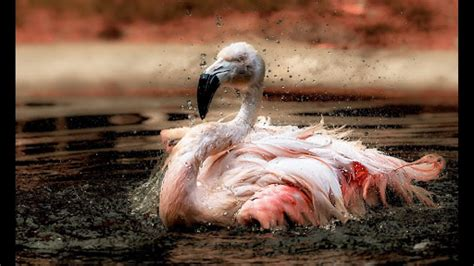 flamingo live wallpaper download pink flamingo live wallpaper google play