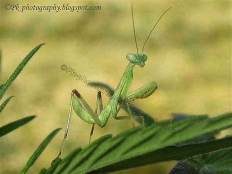 Praying Mantis L by Nature Cultural And Travel Photography Baby