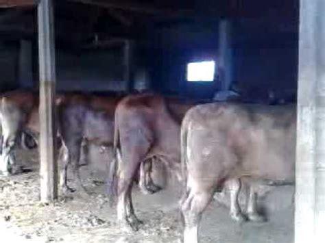 Buku Beternak Sapi Limousin ternak sapi simental limosin funnycat tv