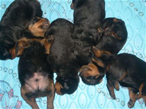 average rottweiler puppy weight rottweiler puppy growth chart average puppy weights