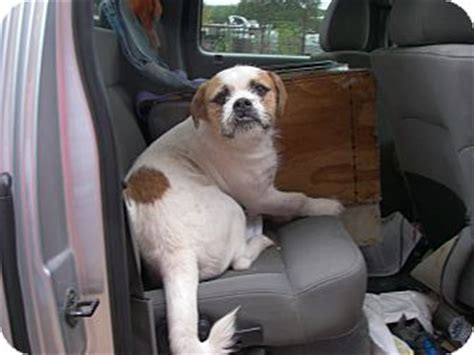 bulldog shih tzu mix name buchanan dam tx american bulldog shih tzu mix meet bambam a for adoption