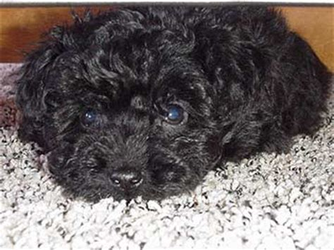 puli puppies for sale black komondor puppies www pixshark images galleries with a bite