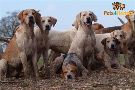 foxhound puppies for sale foxhound breed information buying advice photos and