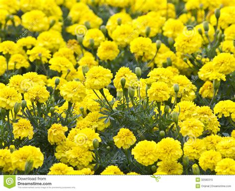 Yellow Flower Garden Yellow Flower Marigold In The Garden Royalty Free Stock Photo Image 32580315