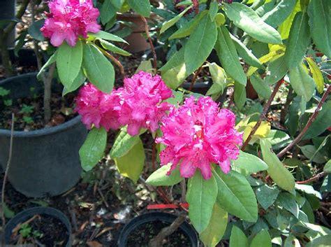 rododendro in vaso rododendro in vaso dispositivo arresto motori lombardini