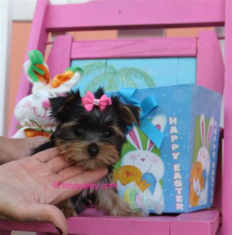 free tiny teacup yorkies tiny teacup yorkie puppies for free adoption fort benning ga hd breeds picture