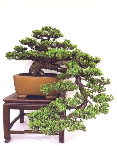 bonsai the art of the art of bonsai project feature gallery the best of bonsai today aob s styling contest