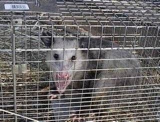 how to get rid of possums in backyard how to get rid of possums squirrels