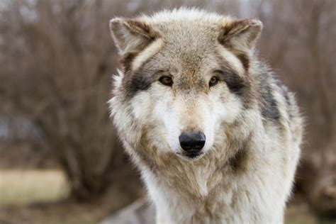9 best images about wolf wolves at wolf park in max goldberg flickr