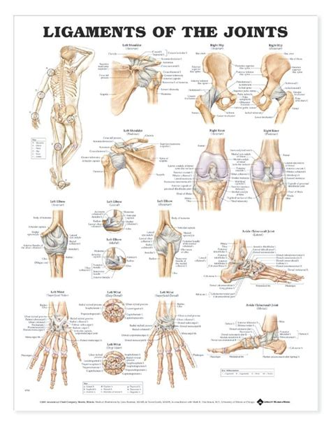 diagram of joints in the anatomy chart ligaments of the joints