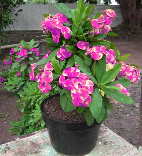 pot euphorbia grosirtanamancom