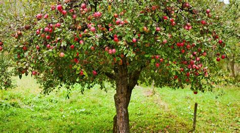 home fruit tree care this spring and summer the rock river times