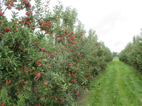 apple orchard apple picking pick your own apples albion orchards
