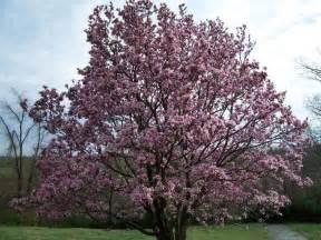 saucer magnolia small trees pinterest magnolias