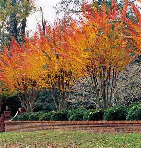 kleine bäume vorgarten 370 die besten 25 lagerstr 246 mien b 228 ume ideen auf