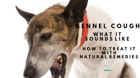 treatment for kennel cough in dogs kennel cough in dogs what it sounds like and effective remedies veterinary