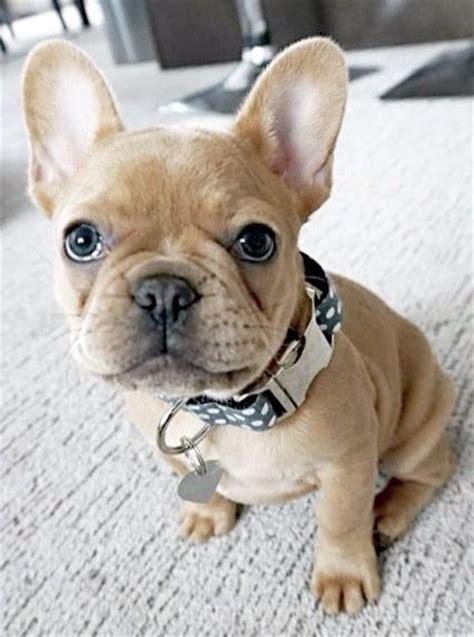 when do pugs go into heat 25 best ideas about bulldogs on bulldog puppies