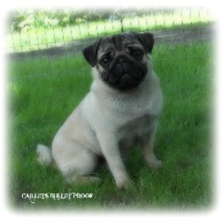 canadian pug breeders silvermist registered pugs pug breeder in chipman alberta