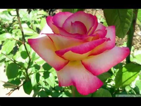 imagens de flores e rosas ccb fotos flores e paisagens youtube