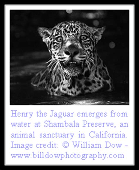 all about jaguars facts of cats jaguar facts