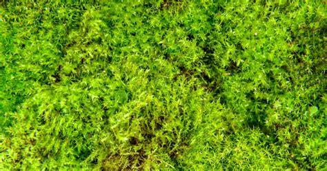 how to get rid of moss in garden beds fasci garden