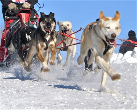 sledding facts fascinating facts on sledding and sled dogs ideas