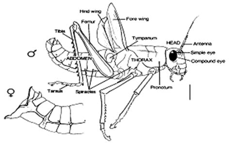 Grasshopper Dissection Worksheet Answers by On The Cutting Edge Grasshopper Dissection Carolina