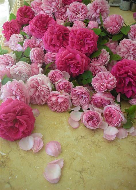 old roses antique garden roses trouvais