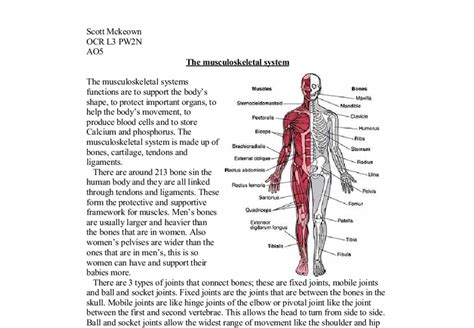 Muscular System Essay by The Musculoskeletal Systems Functions Are To Support The Bodys Shape To Protect Important