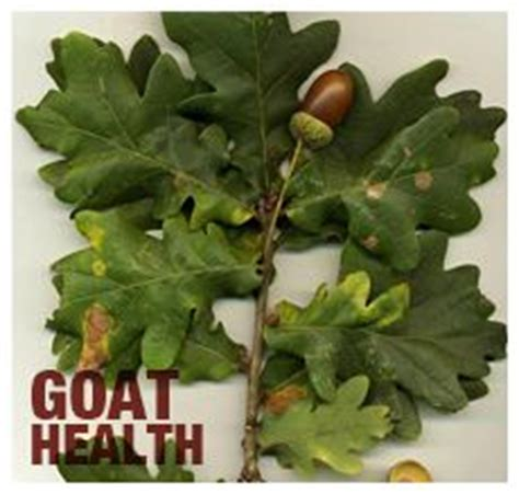 are acorns bad for dogs 1000 images about goats bad food plants on goats the plant and cattle