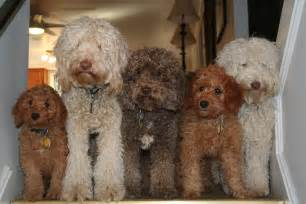 labradoodle colors state labradoodles breeder of authentic australian