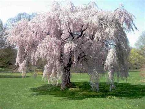 cherry blossom tree zone 9 weeping cherry tree cheerful cherries