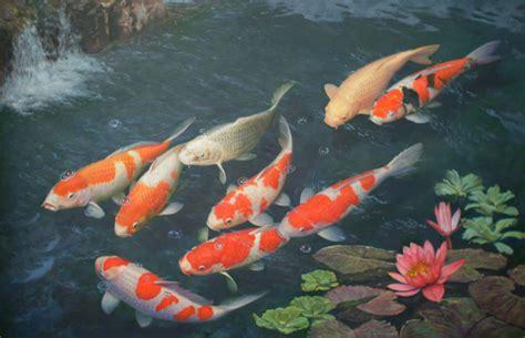 koi fish colors koi fish 7923 2594x1674 px hdwallsource