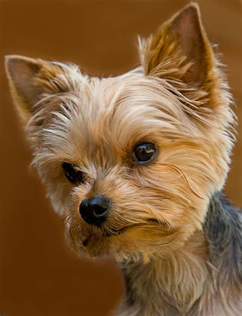 teacup yorkie hairstyles 1000 ideas about terrier haircut on yorkie terriers