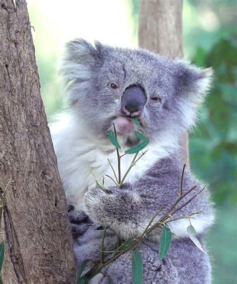 imagenes animadas koala me with all your fuckery