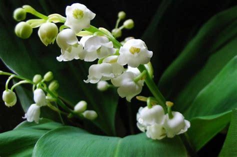 Muguet Fleurs Images by Nature Vos Plus Beaux Brins De Muguet Le Muguet La