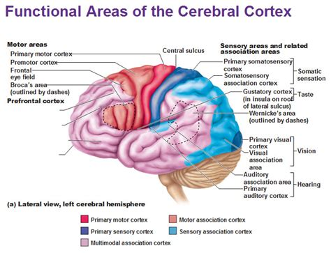 primary motor cortex function and location lobar anatomy neuroradiology