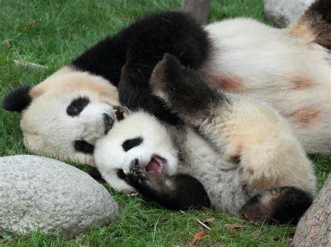 goodnight panda buenas 1683042484 las 25 mejores ideas sobre imagenes oso panda en osos pandas bebes osos pandas