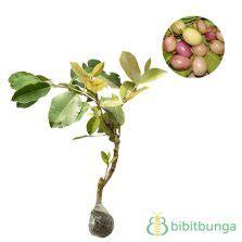 Adenium Bunga Merah Putih Single Tumbuh Dari Benih Bibit Murni 1 tanaman juwet jamblang hitam bibitbunga