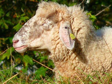 schafhaltung im garten nutztiere im garten halten tierparadies garten
