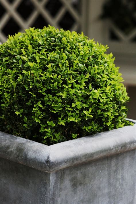 Boxwoods In Planters by Boxwood Planters Laurie Jones Home