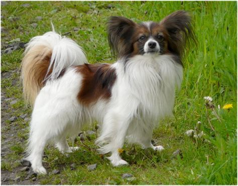 papillon puppy price papillon breed facts pictures puppies grooming diet price animals adda