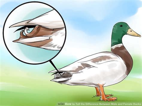 what color are ducks how to tell the difference between and ducks