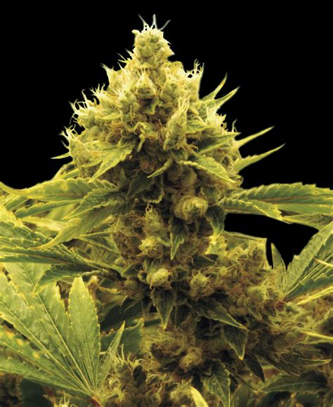 x strain seeds cheese x critical by exclusive seeds bank seedfinder