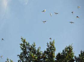 wann bauen schwalben ihre nester schwalben werden nicht aus nieders 228 chsischen st 228 llen