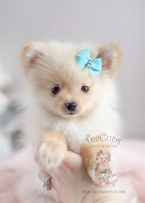pomeranian breeders in south florida teacup pomeranian for sale at south florida teacups puppies boutique