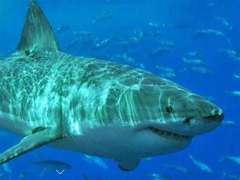 shark cape cod great white shark nursery found south of cape cod
