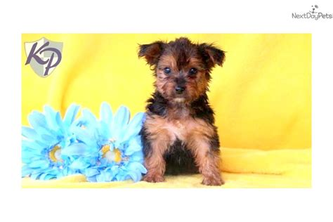 yorkie poo puppies price yorkiepoo yorkie poo puppy for sale near lancaster pennsylvania a24bfc27 8931