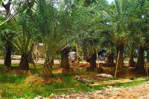 jual pohon kurma atau palem kurma jual pohon kurma murah berbakat taman landscape the best