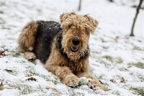 airedale puppy airedale terrier mix breeds www pixshark images galleries with a bite